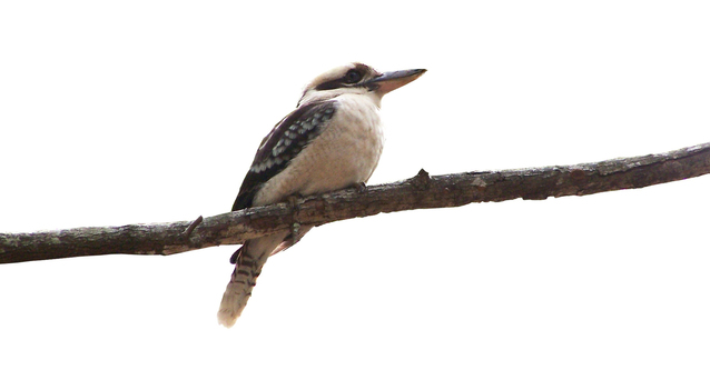 kookaburra-without-the-ubiquitous-gum-tree-1381744-638x332